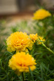 Yellow portulaca flower Stock Images