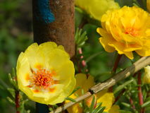 Yellow Portuluca royalty free stock photography