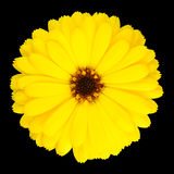 Yellow Pot Marigold Flower in Full Bloom Isolated Royalty Free Stock Photo