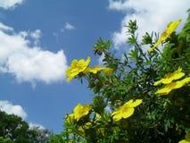 Yellow potentilla fruticosa bush, sky in background. Stock Photo