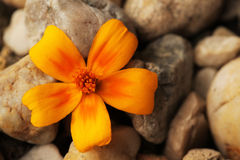 Yellow potentilla on stones. Yellow potentilla over background small garden stones Royalty Free Stock Image