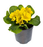 Yellow potted primose isolated on white Royalty Free Stock Photos