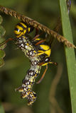 Yellow Potter Wasp Royalty Free Stock Image