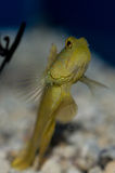 Yellow Prawn Goby. The Yellow Prawn Goby is also known as the Yellow Watchman Prawn, or Yellow Shrimp Goby, was first discovered in 1936 by Herre. The head and Stock Photos