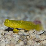 Yellow Prawn Goby. The Yellow Prawn Goby is also known as the Yellow Watchman Prawn, or Yellow Shrimp Goby, was first discovered in 1936 by Herre. The head and Royalty Free Stock Photo