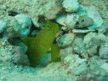Yellow prawn-goby. (cryptocentrus cinctus) guarding the entrance to its burrow royalty free stock photos