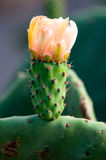 Yellow Prickly Pear Cactus Flower Stock Photo