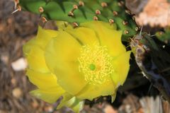 Yellow Prickly Pear Flower. Yellow flower on a prickly pear cactus.  Taken in the Sandia Mountains in New Mexico stock photos