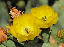 Yellow Prickly Pear Flowers with Bees Stock Images