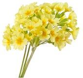 Yellow primrose Stock Images