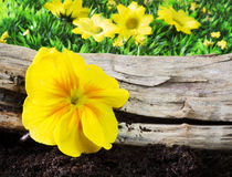 Yellow primrose Royalty Free Stock Photo