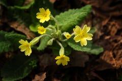 Free Yellow Primrose Royalty Free Stock Images - 41893379