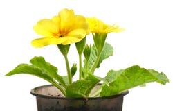 Yellow primrose Royalty Free Stock Image