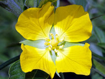 Yellow Primrose Flower Stock Photos
