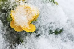 Yellow primrose flower with green leaves covered with white fluffy snow. Yellow primrose flower with green leaves covered with white fluffy snow Royalty Free Stock Image