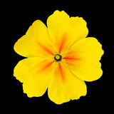 Yellow Primrose Flower Isolated on Black Royalty Free Stock Photography