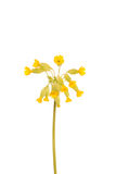 Yellow primrose flower Stock Images