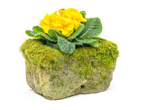 Yellow primrose in a  flower trough Royalty Free Stock Images