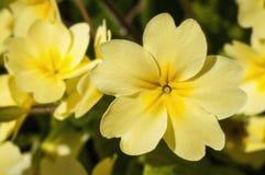 Yellow Primrose Flowers Royalty Free Stock Photos