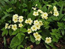 Yellow primrose flowers in spring Stock Photo