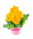 Yellow Primrose Fruticosa Flower Plant Isolated on White Backgro Royalty Free Stock Photos