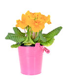 Yellow Primrose Fruticosa Flower Plant Isolated on Stock Image