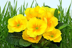 Yellow primrose in the grass. Close-up of yellow primrose - primula flowers in the grass royalty free stock image