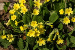 Yellow Primrose Royalty Free Stock Photos