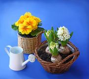 Yellow primrose and hyacinth, and garden tools on a blue backgro Stock Image