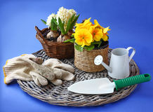 Yellow primrose and hyacinth, and garden tools on a blue backgro Stock Photo