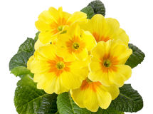 Yellow primrose isolated on white background Royalty Free Stock Photography