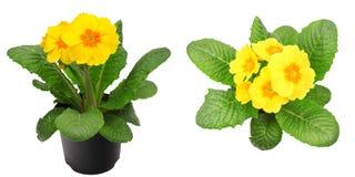 Yellow primrose isolated on white Royalty Free Stock Image