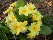 Yellow primrose plant growing wild royalty free stock photo