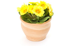 Yellow primrose in pot Stock Photos