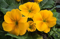 Yellow primrose Stock Photography