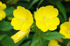 Yellow primrose Stock Photos