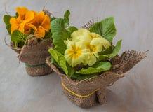 Yellow primrose Royalty Free Stock Images