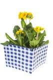 Yellow Primroses Royalty Free Stock Photo