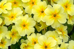 Yellow Primroses Royalty Free Stock Image