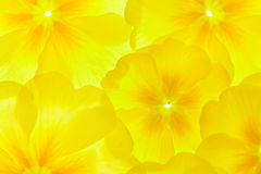 Yellow primula. Primula or primrose, spring flowers background, backlit Stock Photo