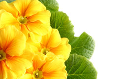 Yellow primula Royalty Free Stock Photo