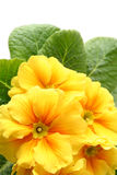 Yellow primula Stock Images