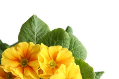 Yellow primula Royalty Free Stock Photography