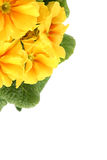 Yellow primula Stock Image