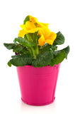 Yellow Primula Royalty Free Stock Images