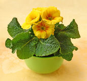 Yellow primula blooming Stock Image