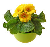 Yellow primula blooming Royalty Free Stock Photo