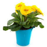 Yellow Primula in blue bucket Royalty Free Stock Photography