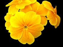 Yellow primula flower Royalty Free Stock Image
