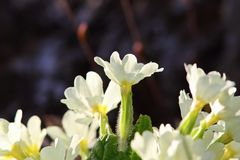 Yellow primula flowers Stock Photography